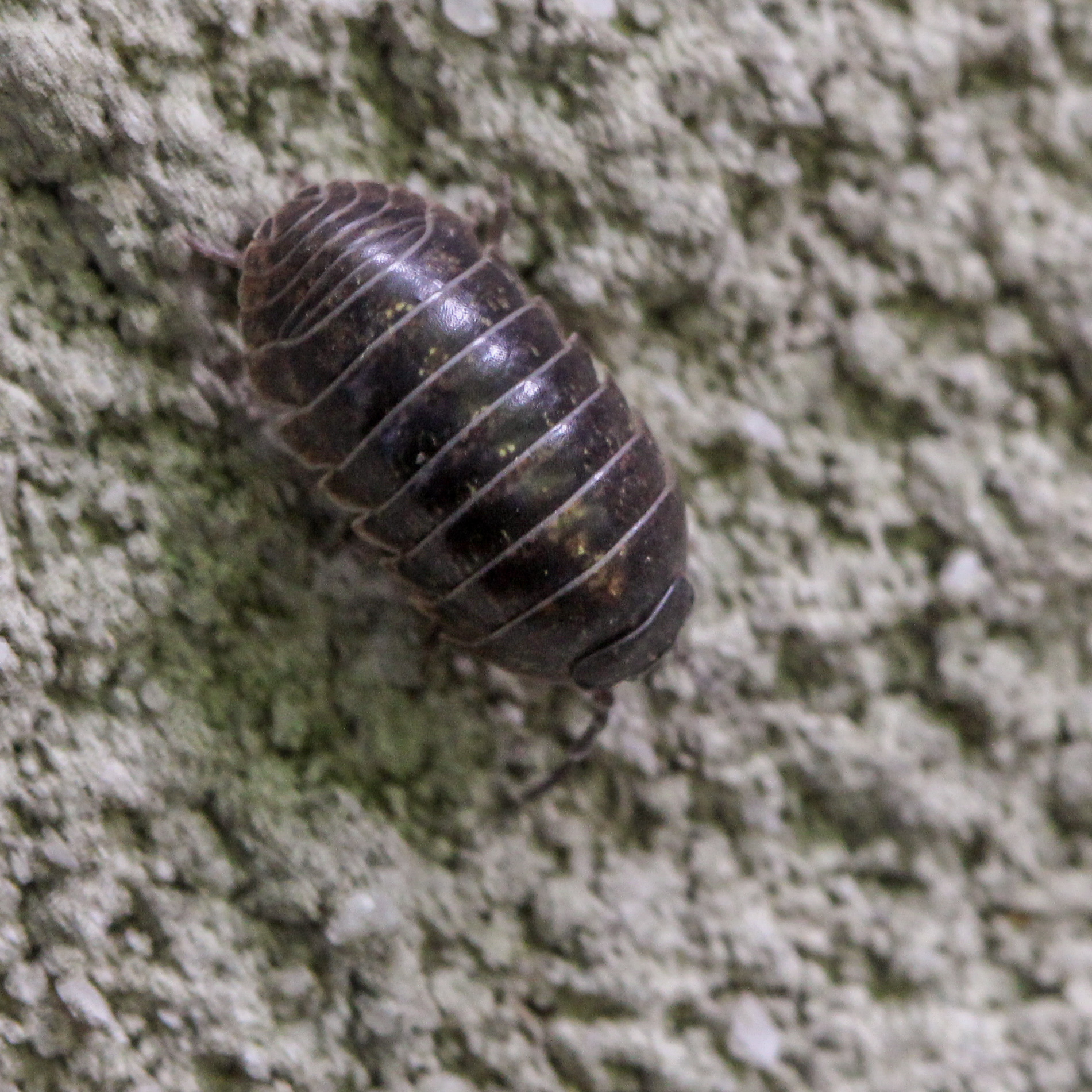 Leather jacket insect - A Pill Bug On A Stucco Wall