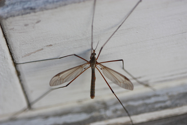 how to get rid of flying daddy long legs