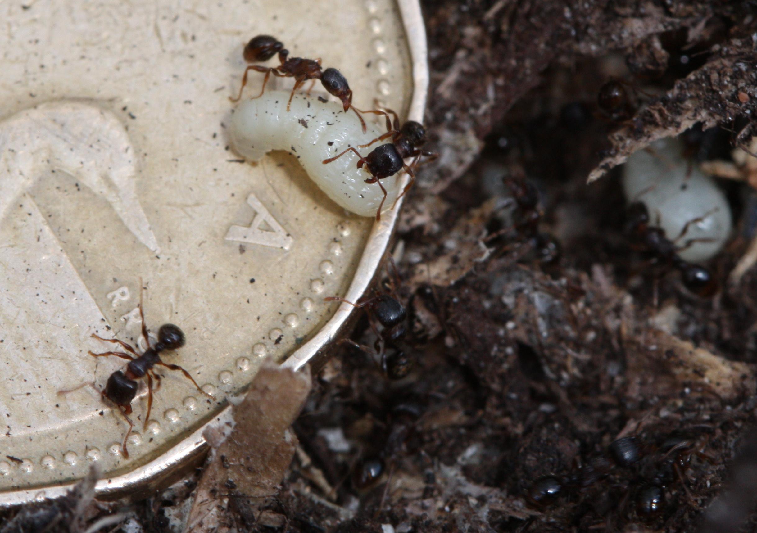 Tiny Black Ants Kitchen Similiar Small Red Ants Kill Keywords