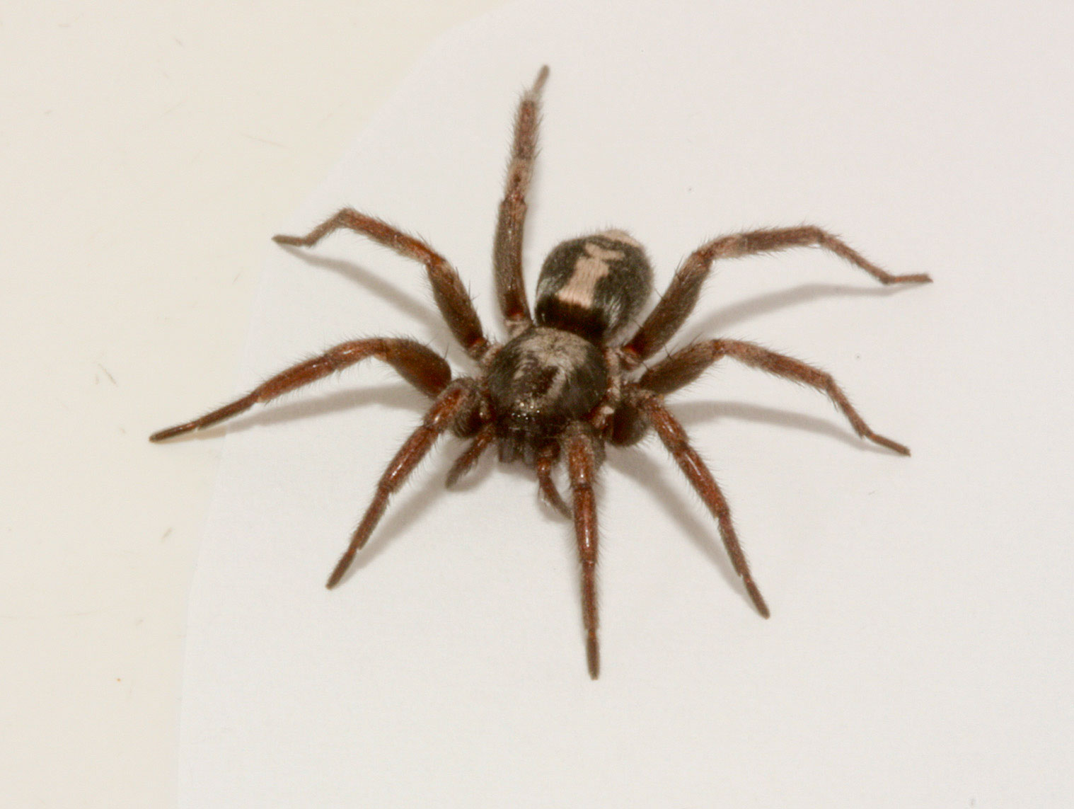 related pictures the brown recluse spider and the black widow
