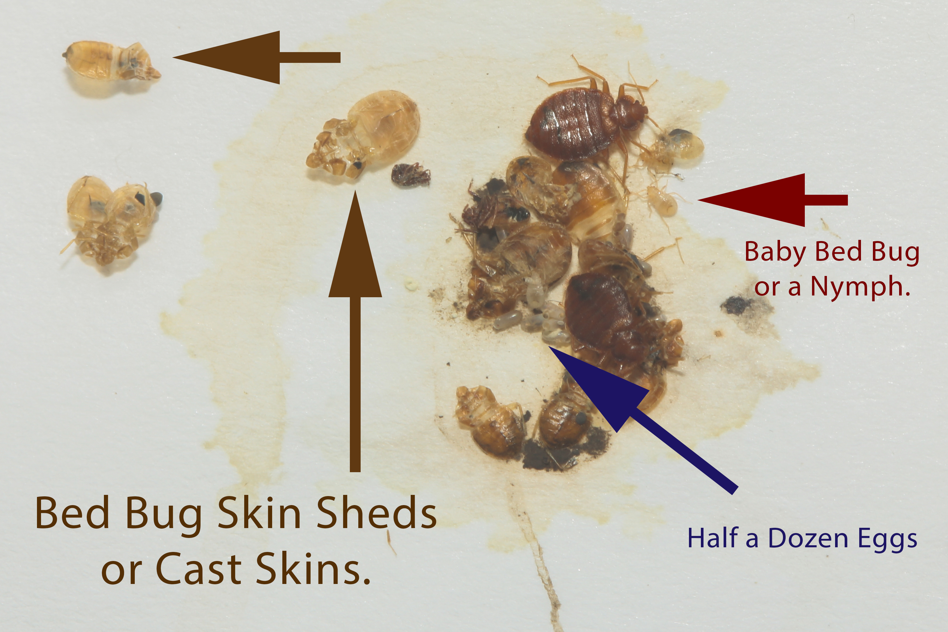Picture Of Bed Bug Shell Mole Extermination Louisville Ky