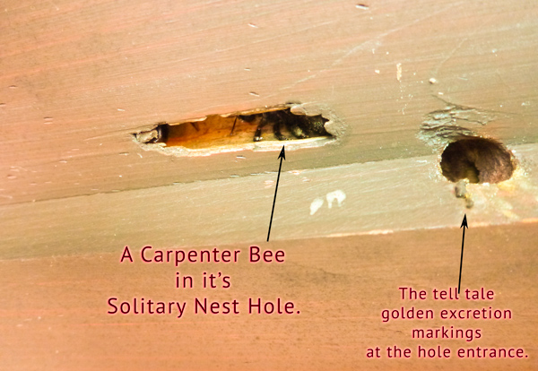 Carpenter Bees Pest Control And Extermination Services