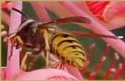 Wasp - Yellow Jacket