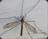 Crane Fly or Leather Jackets