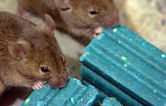 Mice are feeding on Anticoagulent Bait