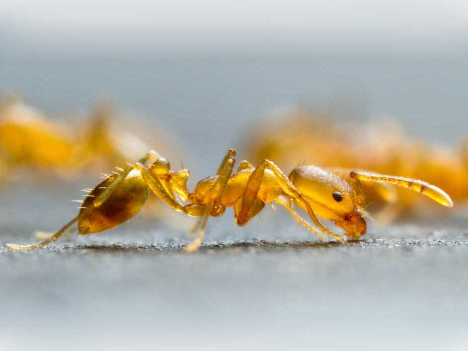 fire-ant-Feature