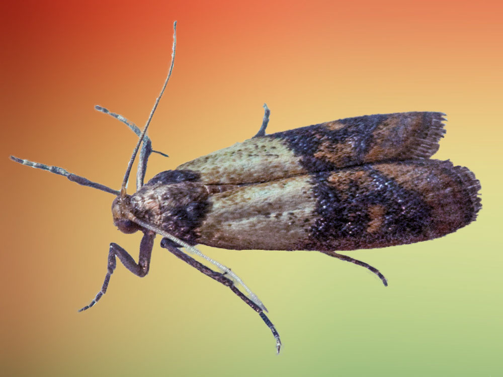 Indian Meal Moth A Pantry Pest Pest Control Of Bed
