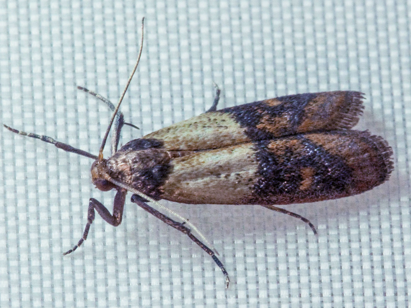 Indian meal moth a pantry pest pest control of bed for Pantry moths