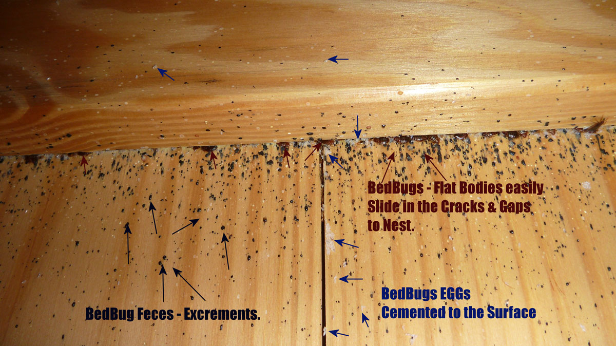 Bed Bugs Infestation behind a headboard