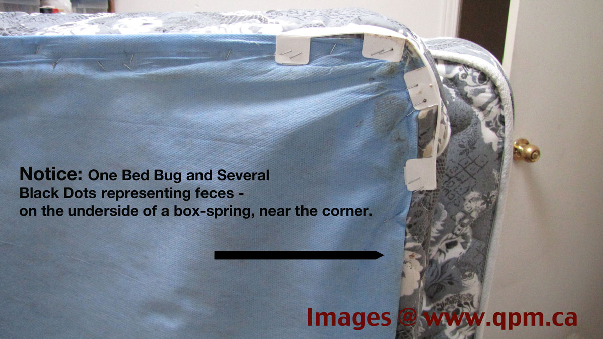 Underside of Box Spring - Bed Bug Infestation just in Infancy
