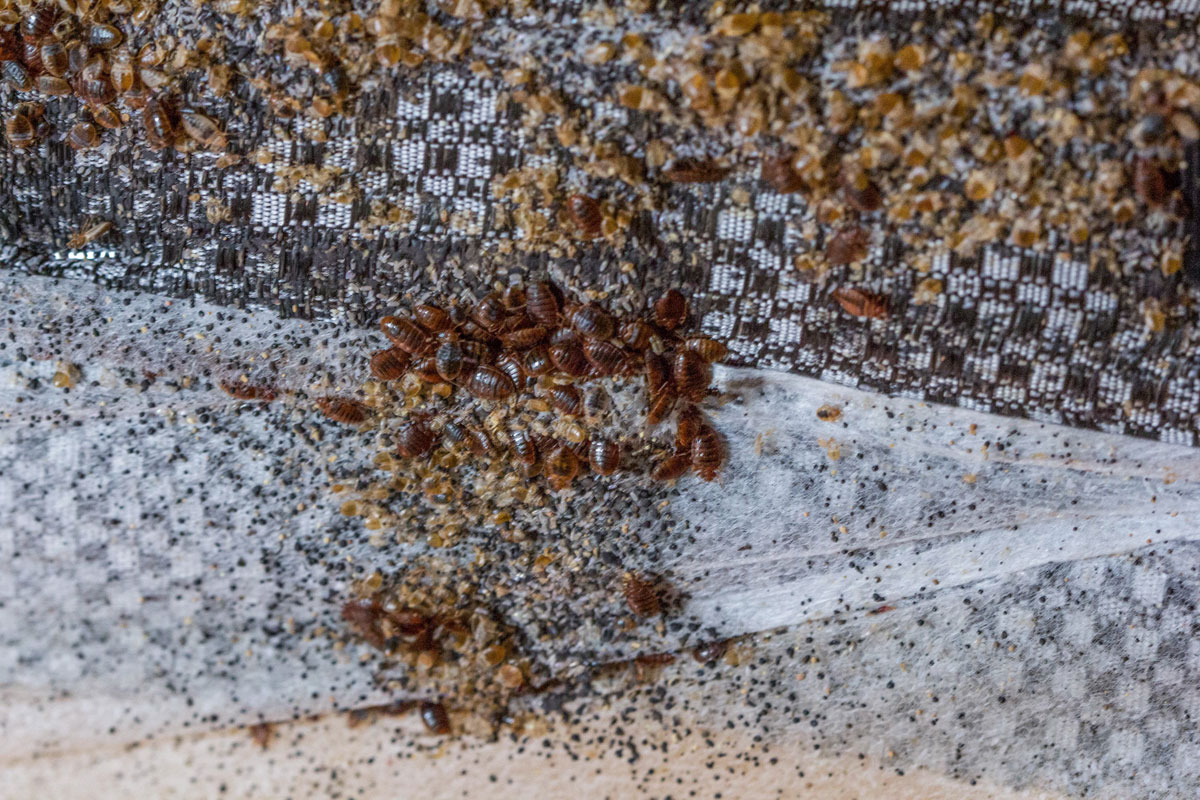 Hundreds of Bed Bugs are nesting on the underside of the Box Spring.
