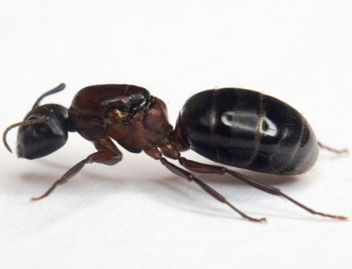 Carpenter Ants Extermination