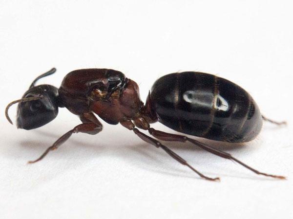 Carpenter-Ant-600px-wide