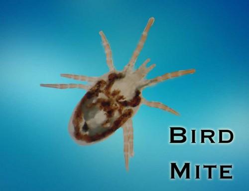 Bird Mites, Dust Mites and Clover Mites