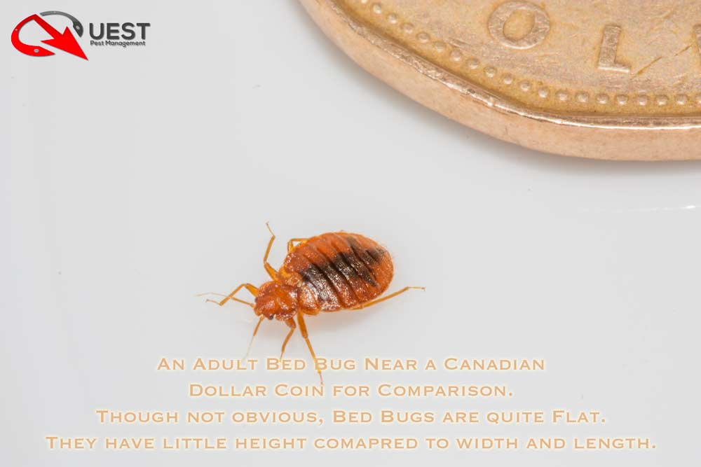 An Adult Bed Bug besides a Canadian Dollar Coin