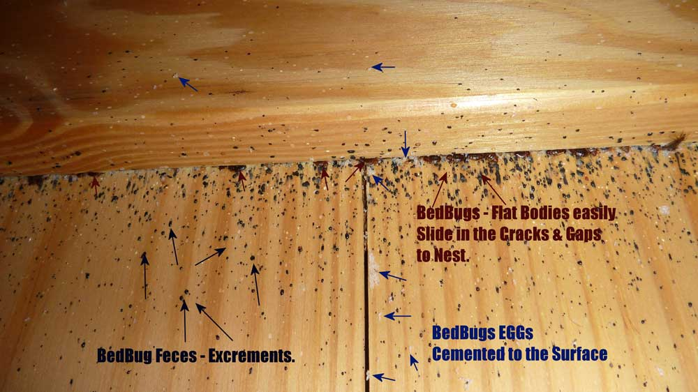 Bed Bug Feces, Skin Sheds, and Eggs