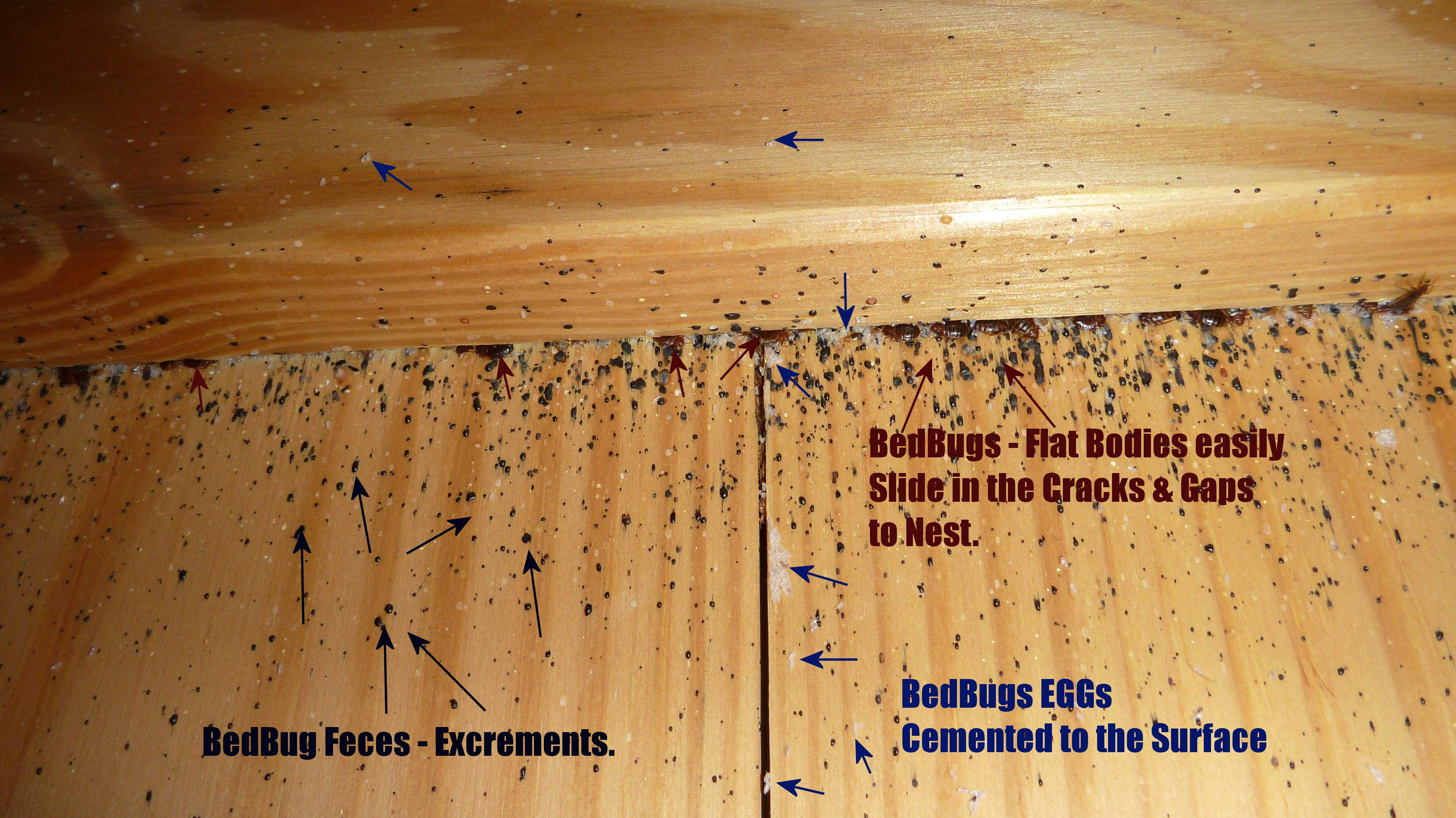 Bed Bugs FAQs - Pest Control of Bed Bugs, Fleas and ...