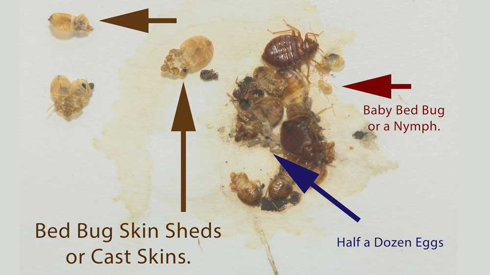Adult and Baby Bed Bugs etc