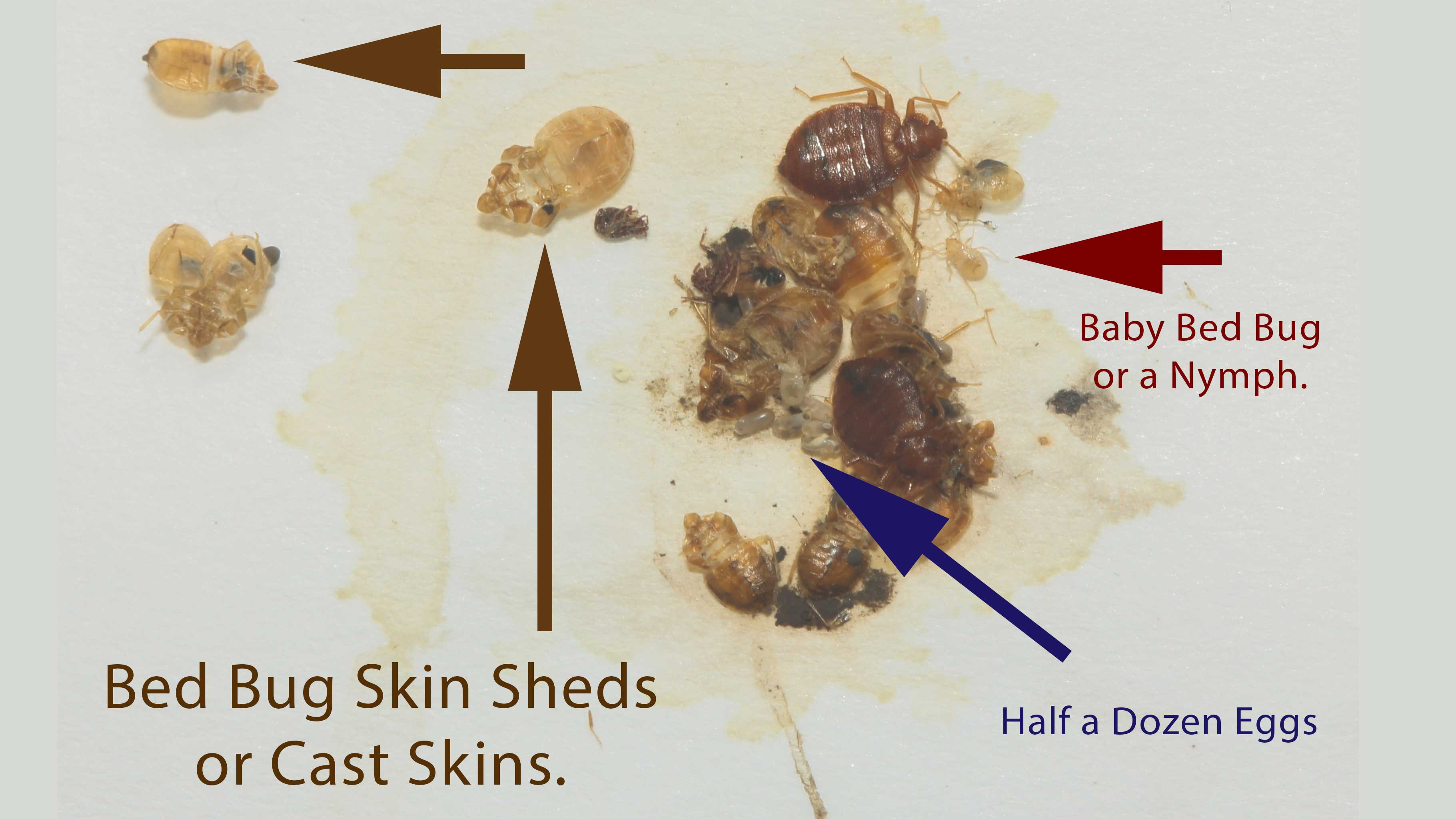 Baby Bed Bugs Eggs Tell Tale Signs Pictures Pest Control Of