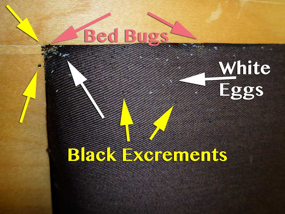 Bed Bug Eggs in Headboard