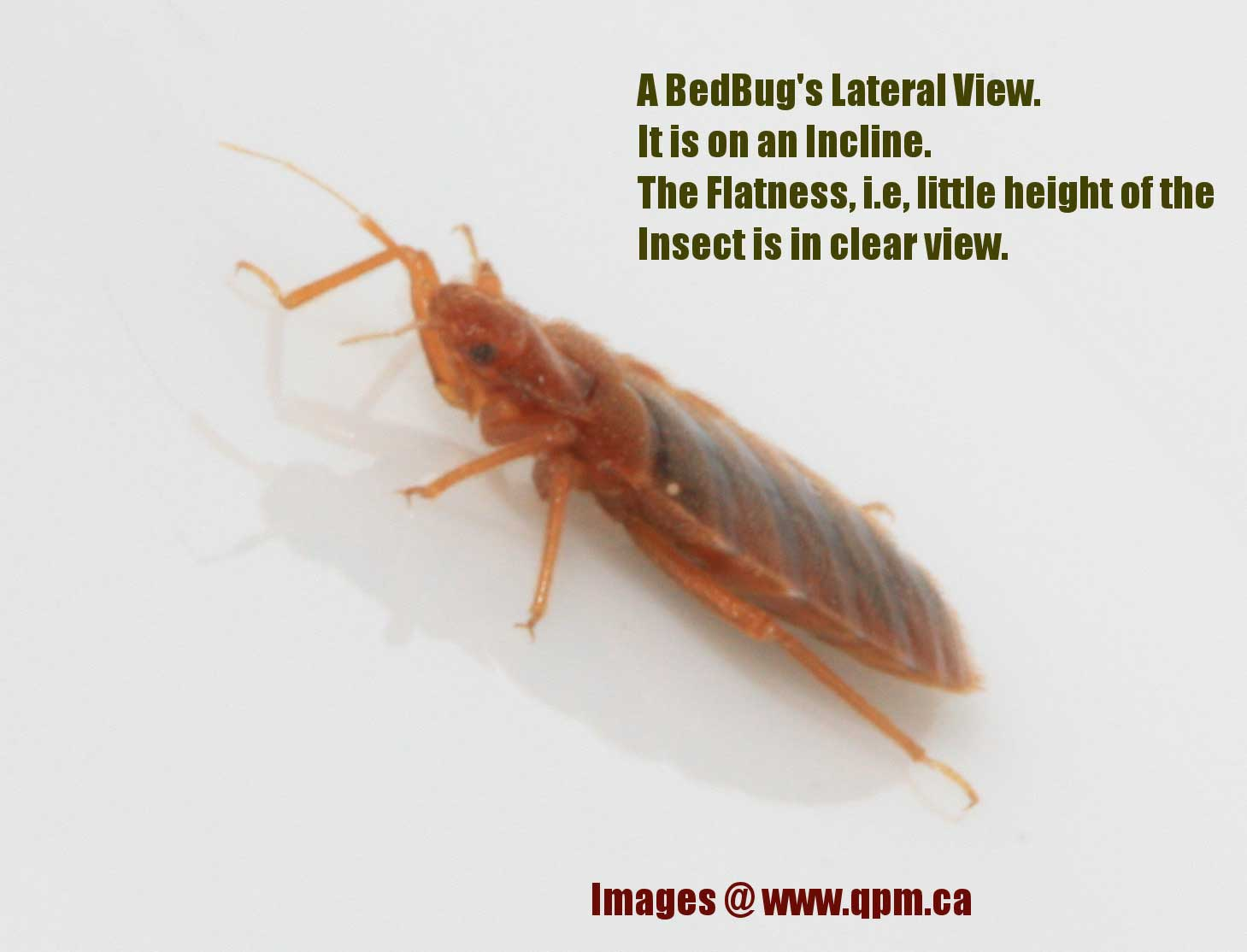 An Adult Bed Bug Side View