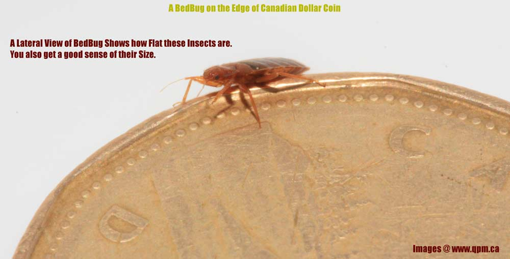 An Adult Bed Bug on top of a Canadian Dollar Coin