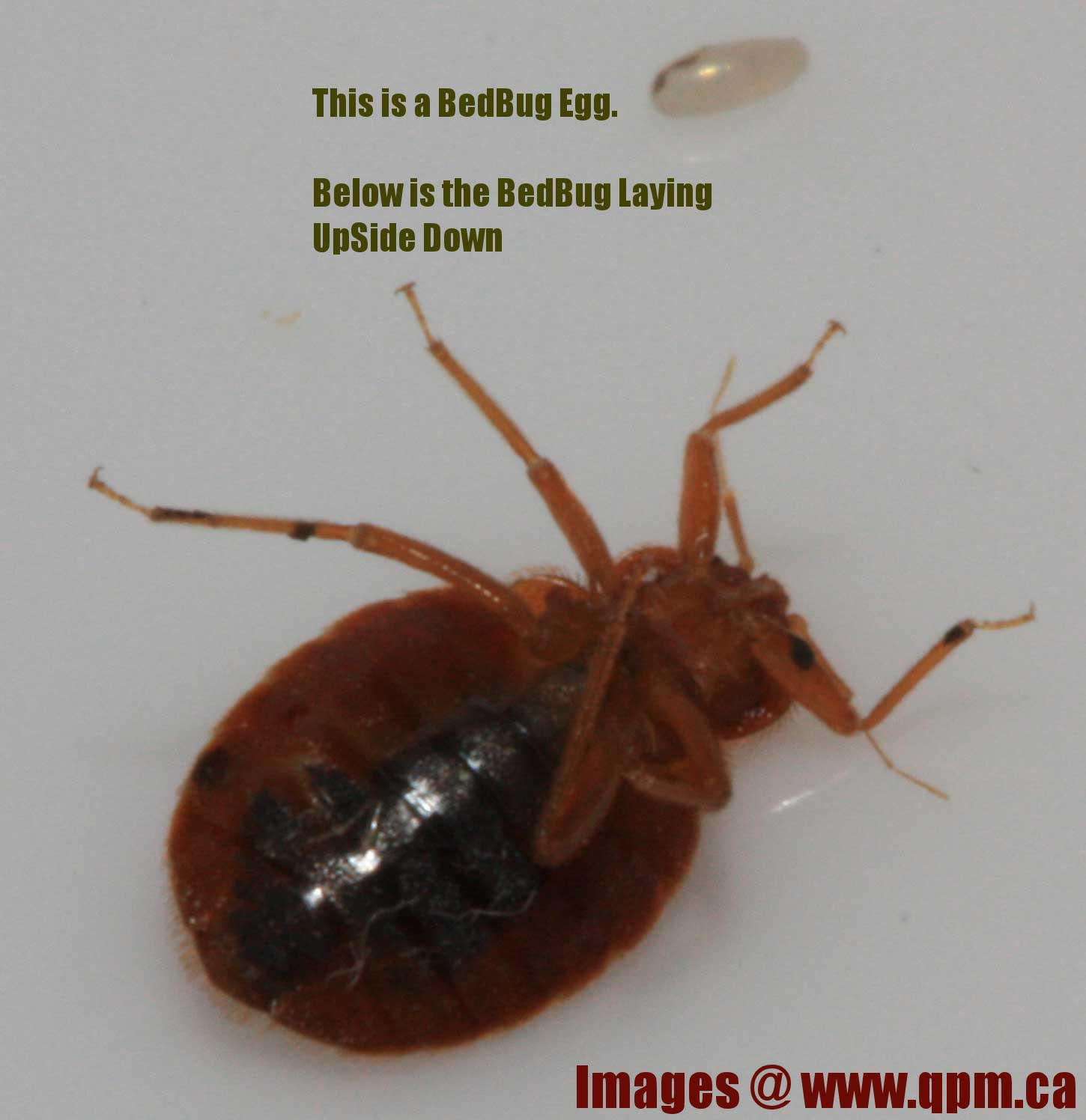 An Adult Bed Bug on It