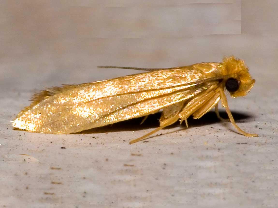 фото домашней моли и их личинки
