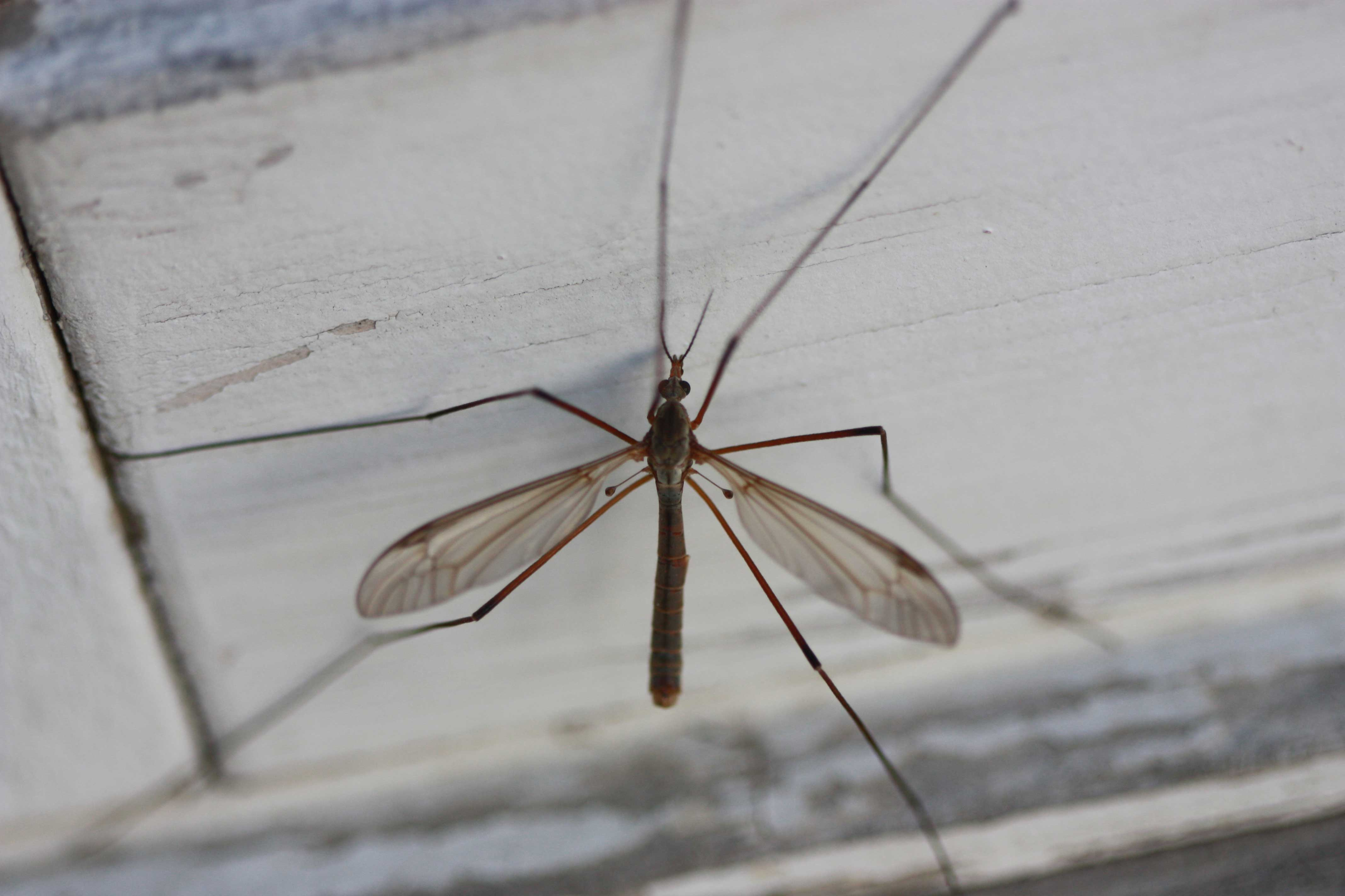 Leather jacket insect - European Crane Fly