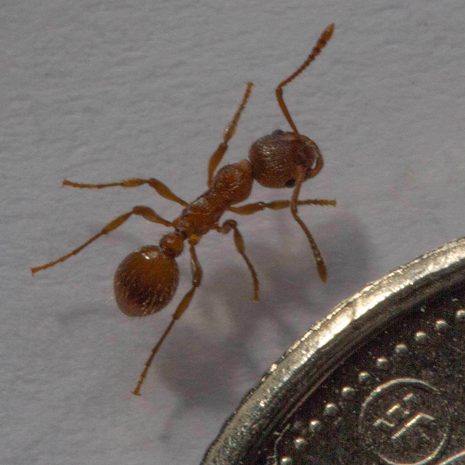 A Fire Ant besides a Coin