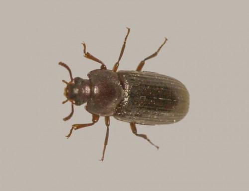 Flour Beetle Extermination
