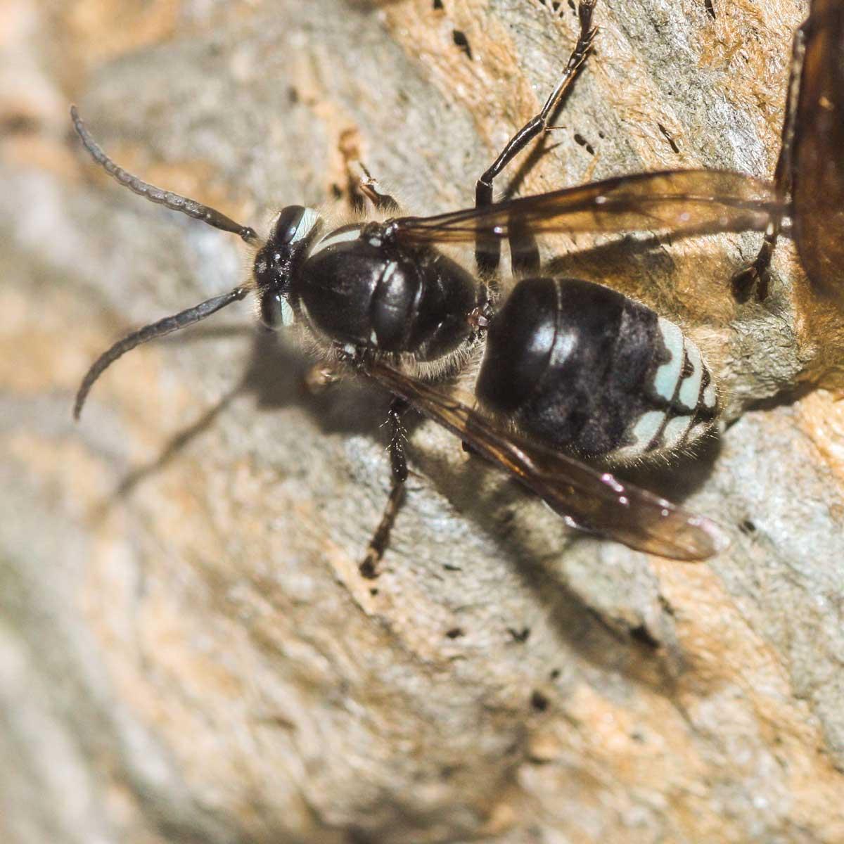 Hornets Extermination And Pest Control Pest Control Of