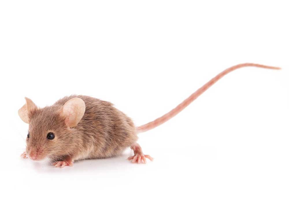 Image result for mice extermination