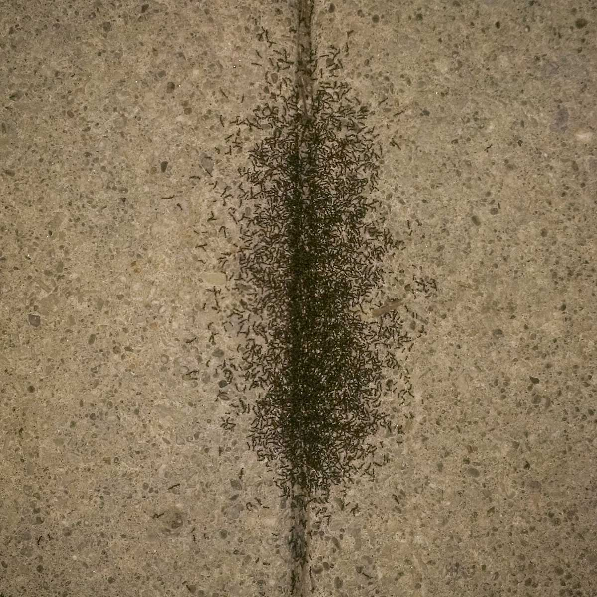 Pavement Ants in Walkway Crack