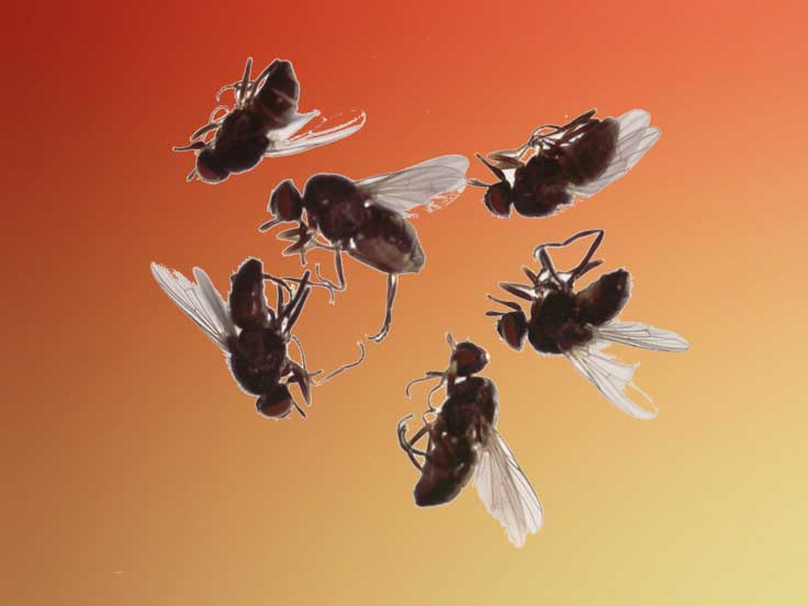 Cluster Flies Extermination