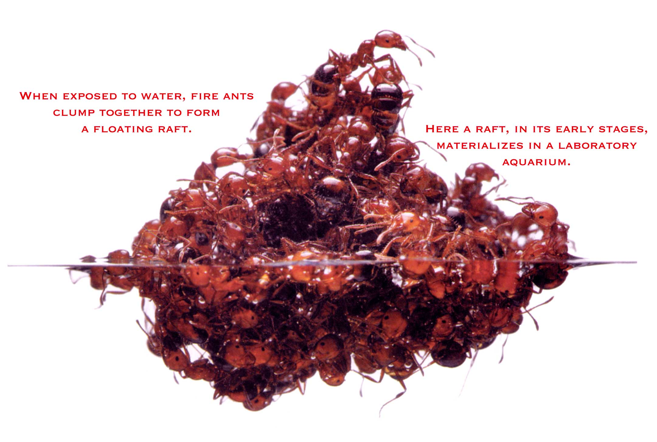 fire ants Fire ant: fire ant, (genus solenopsis), any of a genus of insects in the family formicidae, order hymenoptera, that occur in tropical regions of the world, such as.