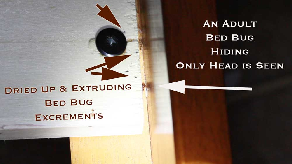 One Adult Bed Bug and some excrements