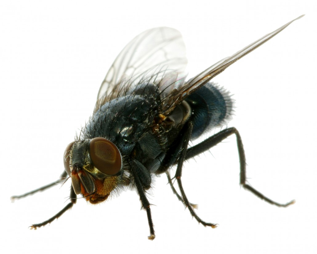 House Flies mon flying pest in households Pest