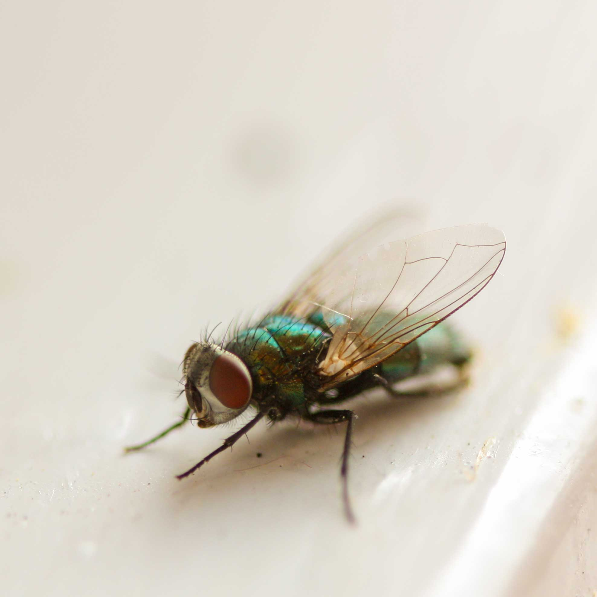House-fly-IMG_9021