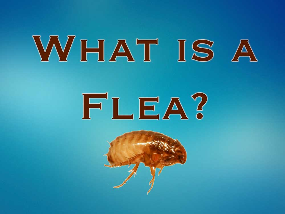 Fleas – What do they look like?