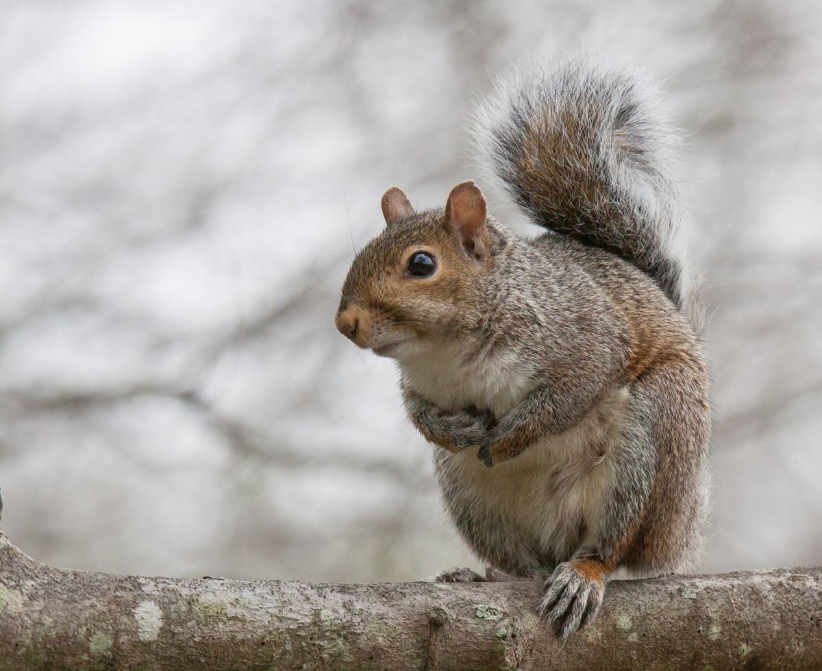 Eastern Squirrel