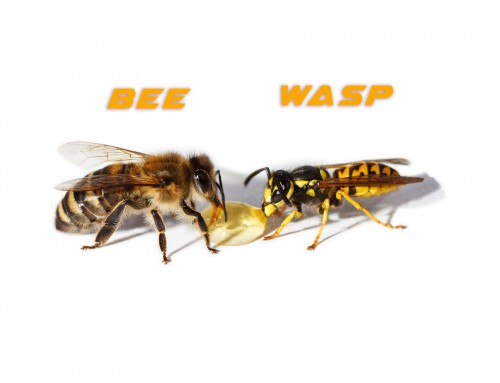 Key differences between Wasps and Bees