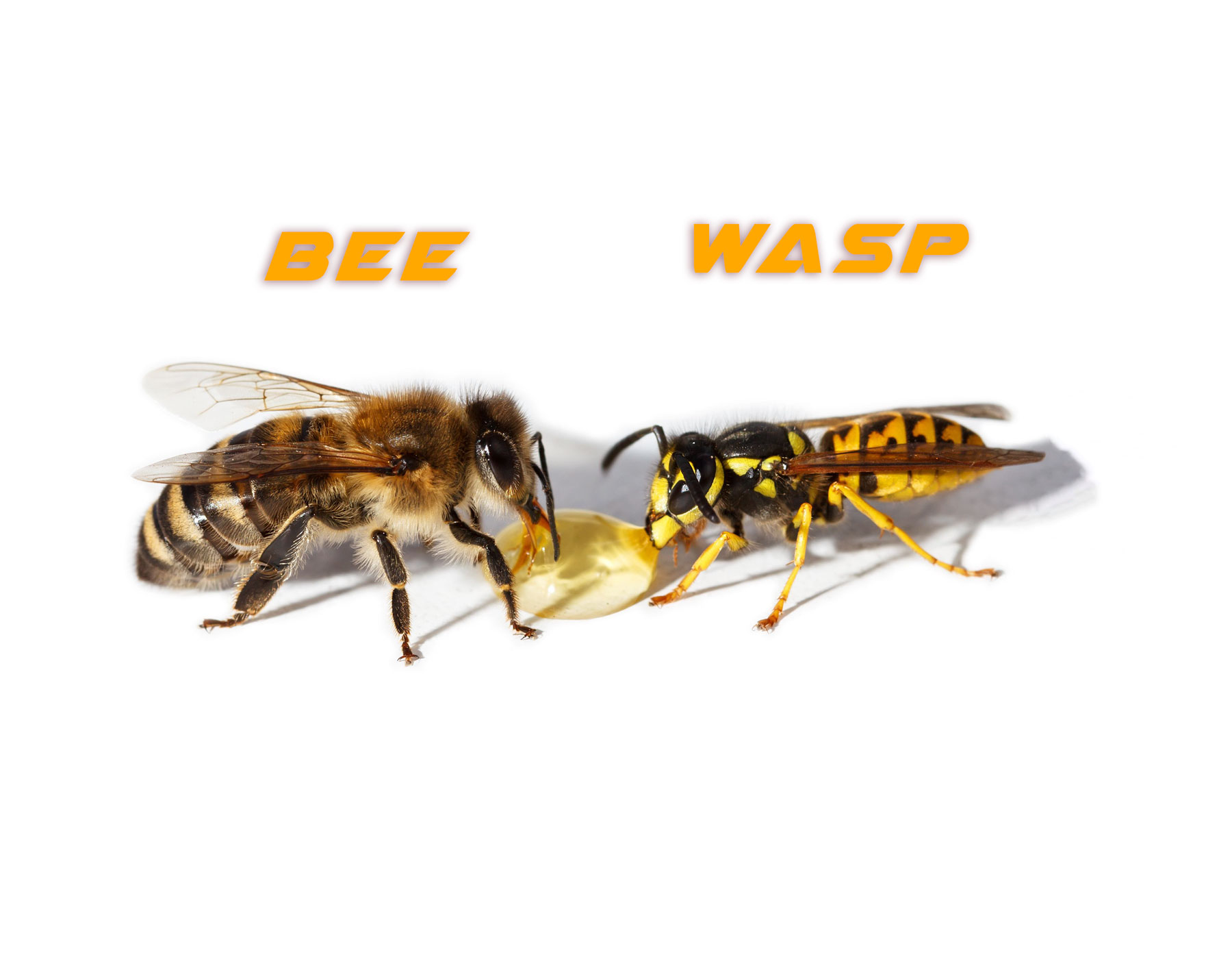 Difference between bee and yellow jacket wasp